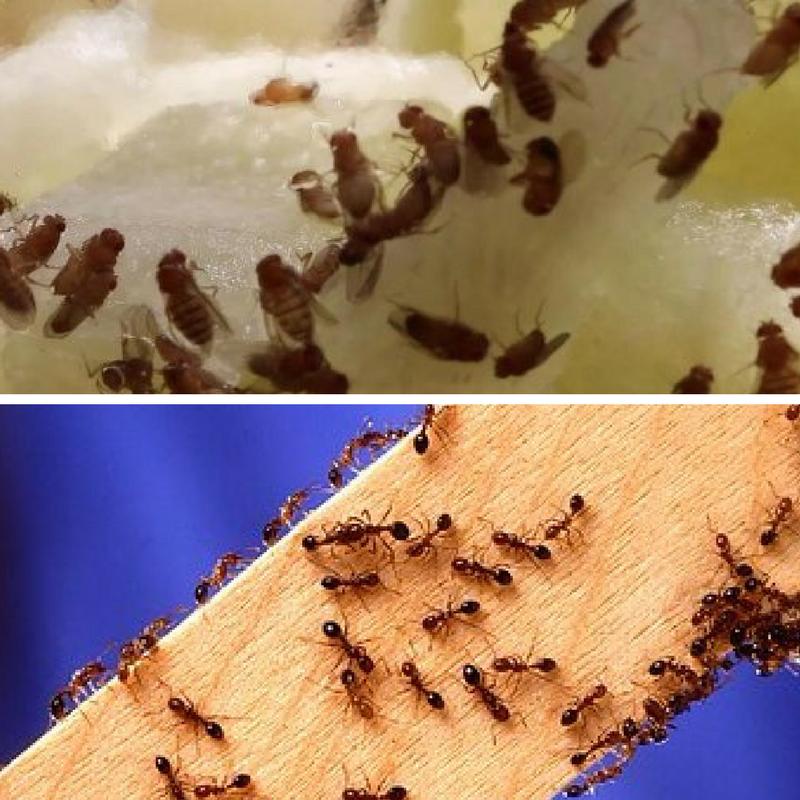 Hast du Silberfische, Fruchtfliegen oder Ameisen im Haus ...